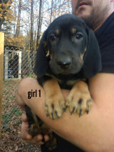 Black and tan/majestic hound puppies