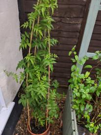 7ft Scented Jasmine Plant 🌱