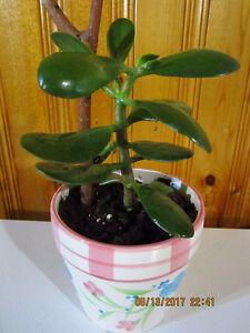 Jade Plant - $15 - $35