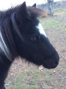 7 Year old Mini Mare