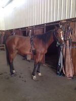 16.3 Thoroughbred, gelding 5years old.