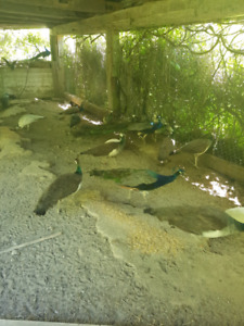 Peacocks! And other fowl