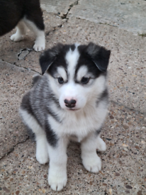 Siberian Husky puppies ready to reserve