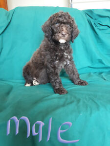 Poodle pups no breeding rights pets only