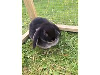 2 x dwarf lop eared rabbits
