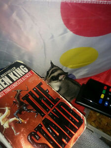 Two Male Sugar Gliders Looking for Forever Home Cambridge Kitchener Area image 2