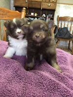 Pomeranian puppies for sale $700.00