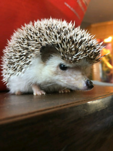 Son is looking to rehome his hedgehog