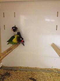Stunning pair of lovebirds