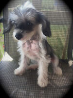 Chinese Crested Hairless & Powder Puff  Avail Now...