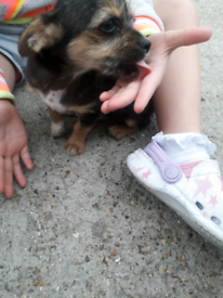 Chihuahua in Essex   Dogs & Puppies for Sale - Gumtree