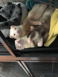 Rehoming two young ferrets, comes with everything