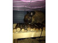 1 year old brown rabbit