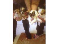 Chihuahua pedigree puppy's