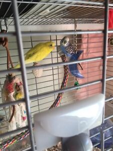 Budgies to rehome