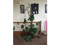 Large cheese plant in ceramic Chinese plant pot