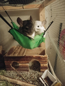 Pair of chinchillas in need of a good home(must atay together)