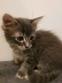 Gorgeous fluffy kittens. One male and one female. Ready now