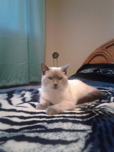 Siamese mix ( Lilac Color Point with Blue Eyes) Male