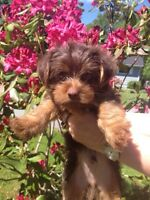 Chocolate Yorkies~ 1 male left~ready to go~