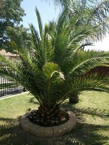 Date Palm Tree Narre Warren South Casey Area Preview