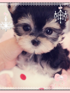 Morkie | Adopt Dogs & Puppies Locally in Canada | Kijiji