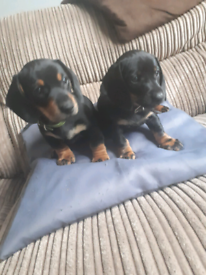 Selling gorgeouse dachshund puppie