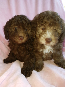 Chocolate Mini Poodle puppies ready