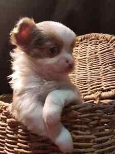 Apple head tea cup long hair Chihuahua