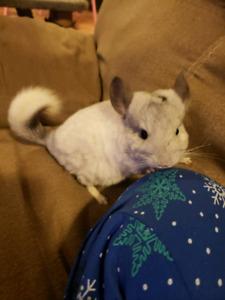 Female chinchilla