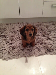 NEW exclusive color miniature dachshund (Weiner dogs)
