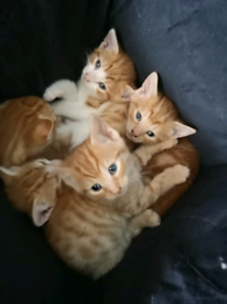 6cab4b58e7 kittens for sale - ready to leave home