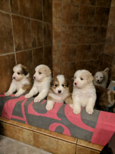 Bernese/Great Pyrenees puppies