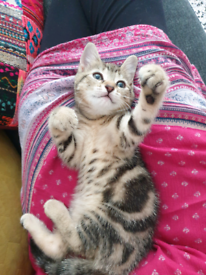 Female kitten, very playful and energetic.