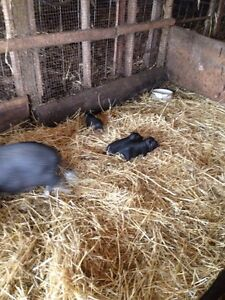 3 male potbelly piglets for sale