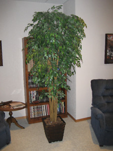 Silk Plant -7 foot tree/great for office