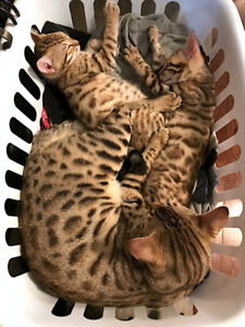 Chaton Bengal, Bengale, chattons bengales, Chats Bengals.