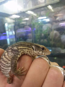 Panther Chameleon (Furcifer pardails) And baby Savannah monitor