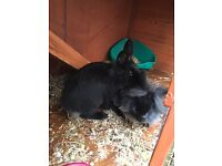 12 week old 2 X Rabbits and 2 floor hutch for sale!