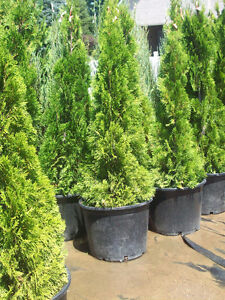 Cedars! Spruce & Many Others! Great Deals -- $11