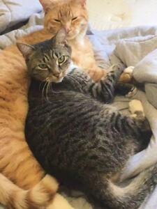 Orange Male Tabby and Grey Female Tabby