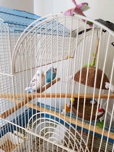 Two parakeets looking for a new home