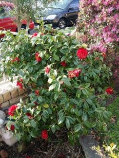 Large red rose plant Bexley Rockdale Area Preview