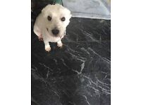 West Highland Terrier, 8 years. Needs loving forever home with plenty of exercise.