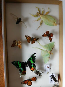 Collection d'insectes, papillons, morpho bleu, insecte feuille