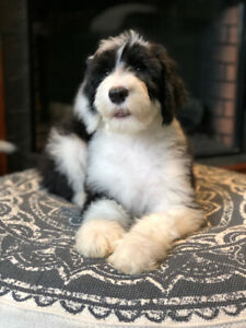 Sheepadoodle | Adopt Dogs & Puppies Locally in Canada