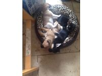 Chihuahua x jug puppies