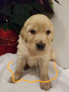 Golden Retriever Lab Kijiji In Ontario Buy Sell Save With
