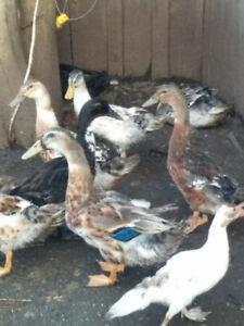 silver apple yard ducks
