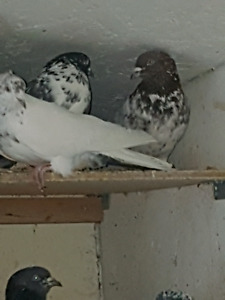 Pakistani high flyers and tippler pigeons for sale /A vender